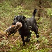 Copperbirch Hund