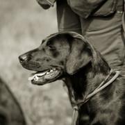 Hund Copperbirch